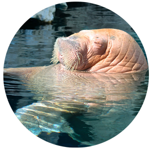 Facts About the Walrus...