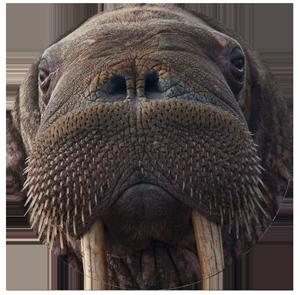 walrus-c